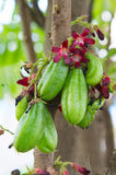 Plum Mango.(Averrhoa bilimbi L.) Royalty Free Stock Images