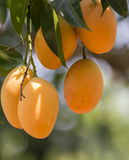 Plum Mango(Bouea macrophylla Griffith) Royalty Free Stock Photos