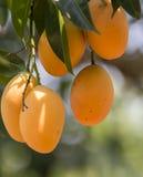 Plum Mango(Bouea macrophylla Griffith) Royalty Free Stock Photos