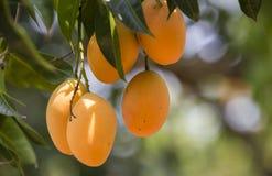 Plum Mango(Bouea macrophylla Griffith) Royalty Free Stock Photography
