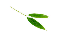 Plum Mango leaves  isolated on a white background Stock Images