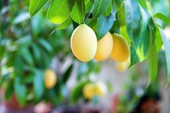 Plum mango. Orange yellow marian plum or plum mango, sweet and sour fruit from Thailand Royalty Free Stock Photography