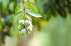 Plum mango tropical fruit on tree in the summer stock images