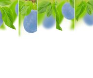 Plum mix Stock Photography