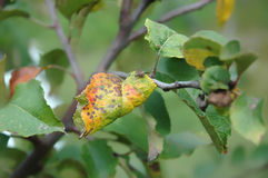 Plum moth disease- Grapholita funebrana Stock Images