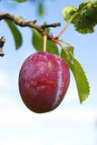 Plum On A Branch Royalty Free Stock Photography