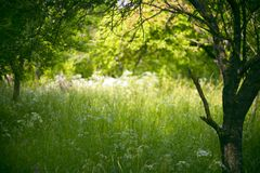Plum orchard. Old plum orchard full of high grass, lit by the late morning summer sun royalty free stock image