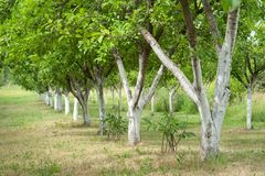 Plum Orchard Royalty Free Stock Photography