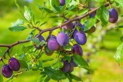 Plum Orchard Royaltyfri Foto