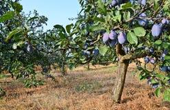 Plum Orchard fotos de stock