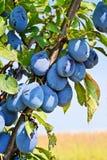 Plum Orchard Imagen de archivo libre de regalías