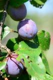 Plum Orchard Fotos de archivo libres de regalías