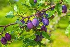 Plum Orchard. Ripe plums hanging from a tree in an orchard Royalty Free Stock Photo