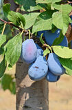 Plum Orchard Stock Photo