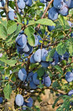 Plum orchard. Small plum orchard in Eastern Europe Stock Photo