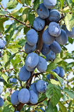 Plum orchard Stock Photos