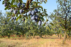 Plum orchard Stock Image