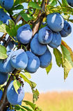Plum orchard Stock Images