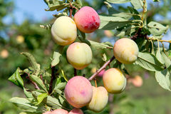 Plum Orchard. Summer garden fruits. Ripe plums on the tree. Harvest plums. Yellow plums in the garden on a sunny day. Branch with Stock Image