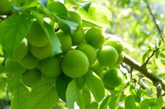 Plum paintings, fresh green plum pictures on the plum tree,.  Royalty Free Stock Images