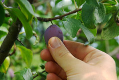 Plum picking Royalty Free Stock Images
