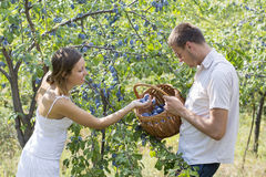 Plum picking in the field on a sunny day Royalty Free Stock Photo
