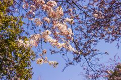 Plum pink flowers and blue sky bright background Osaka-jo park front. Select focus stock photography