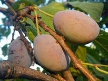 Plum (Prunus domestica) Royalty Free Stock Photo