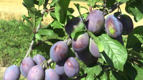 Plum Prunus domestica, variety Jojo, tree orchard homegrown, fruits ripen and unripe detail, wind in branches and leaves. Plum Prunus domestica tree orchard stock video footage