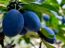 Plum purple with green leaves growing in the garden. Blue plums close up stock photos