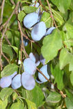 Plum with ripe blue fruits Royalty Free Stock Photos