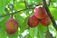 Plum ripening on a plum tree Royalty Free Stock Photography