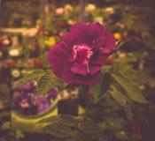 Plum Rose im Garten, skandinavische Artinneneinrichtung lizenzfreie stockfotos