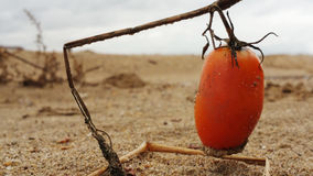 Plum sand tomato. Royalty Free Stock Photography