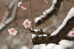 Plum and Snow 2 Royalty Free Stock Image