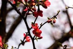 Plum spent spring. Stock Images
