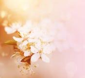 Plum spring flowers Stock Photo