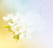 Plum spring flowers Royalty Free Stock Photos
