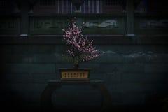 Plum springs. The plum blossom after the rain, plum blossoms in early spring, the beauty of plum Stock Photos