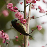 Plum and sunbird Royalty Free Stock Image