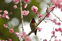 Plum and sunbird Royalty Free Stock Images