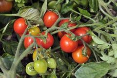 Plum Tomato-installatie met tomaten het rijpen Stock Afbeelding
