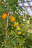 Plum Tomatoes. Tied up and  ripening in the greenhouse Royalty Free Stock Photography