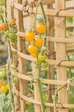 Plum tomatoes tied up Stock Images