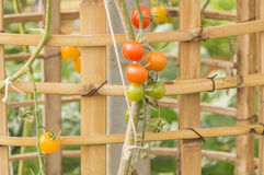 Plum tomatoes tied up Stock Photos