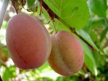 Plum Tree. Ripe plums dangling from a plum tree Stock Images