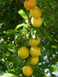 Plum Tree. Yellow plum on the tree ready to harvest Stock Images
