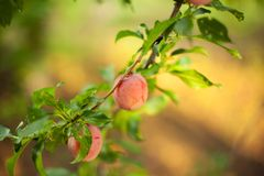 Plum Tree. Plums on a branch in my garden Stock Photography