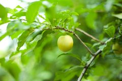 Plum Tree. Plums on a branch in my garden Royalty Free Stock Photos
