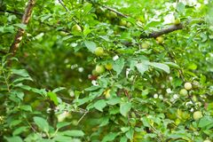 Plum Tree. Plums on a branch in my garden Stock Image